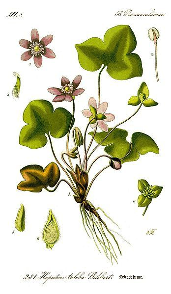 348px-Illustration_Hepatica_nobilis0_clean.jpg