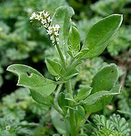 Heliotropium_ovalifolium_heliotrope-jardin--wikipedia.jpg