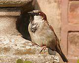 13_oiseaux_de_nos_jardins_026.jpg