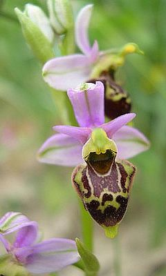photo-ophrys-fuciflora 300x400