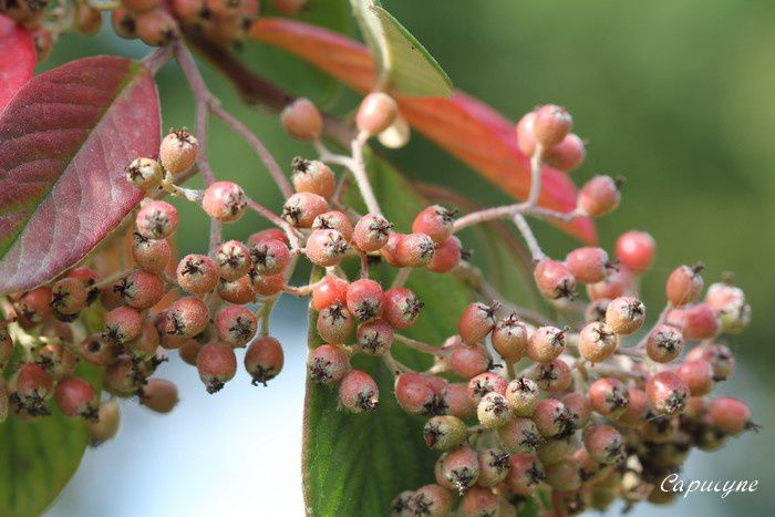Cotoneaster 8464
