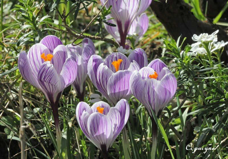 crocus-1657-copie-1.jpg