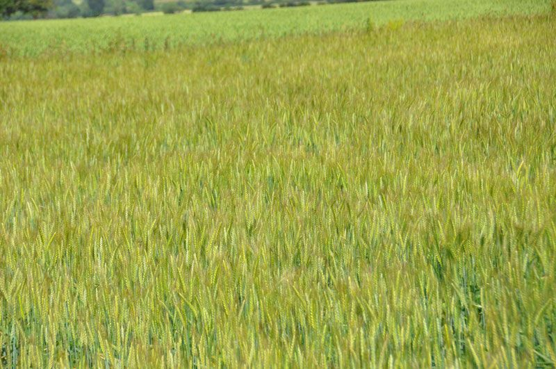 """L'agriculture dans le Val de Saire (images de 2011) Retrouver les articles correspondants dans la catégorie """"Agriculture"""""""