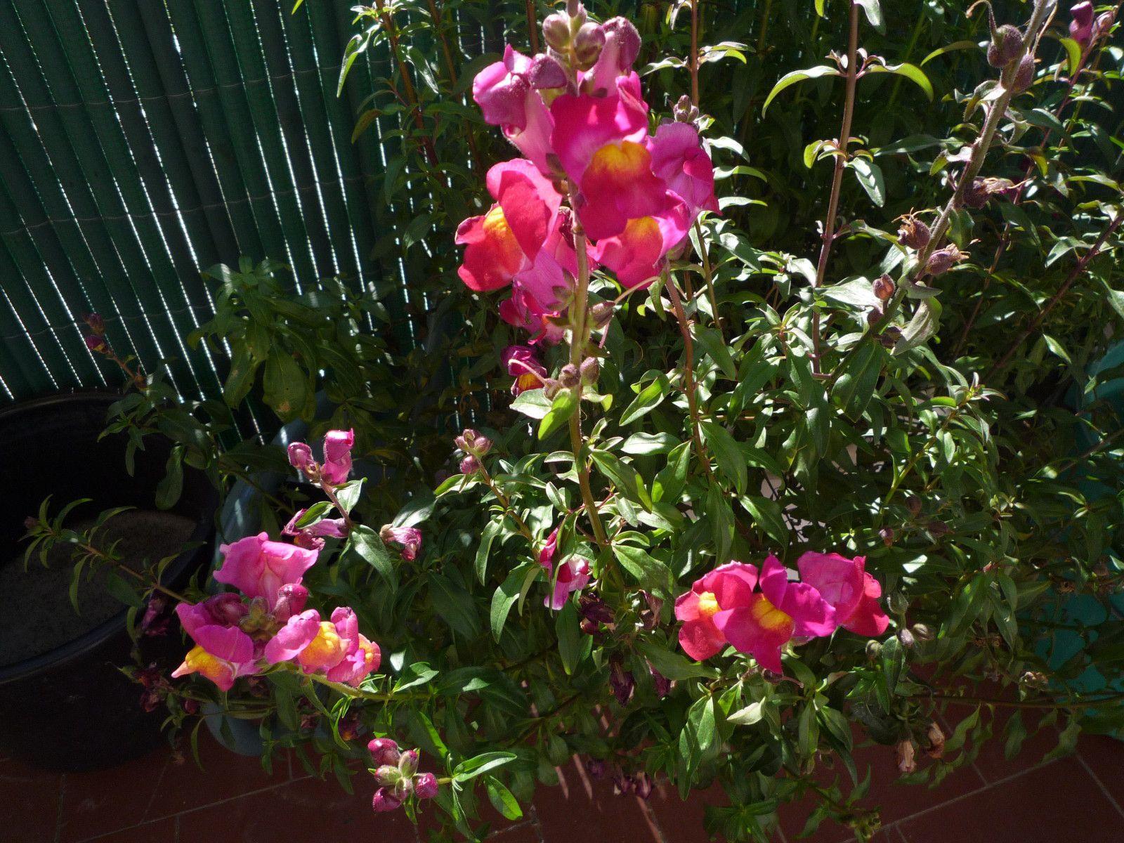 C 39 est le printemps bienvenue chez moi laissez vos - Fleur gueule de loup ...