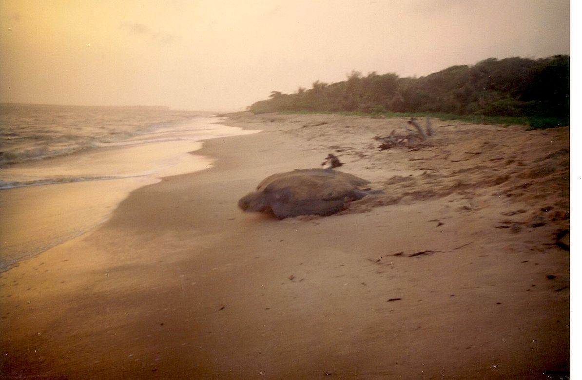 tortue-luth1