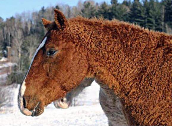 Le Curly, un cheval hypoallergénique et en plus - Le