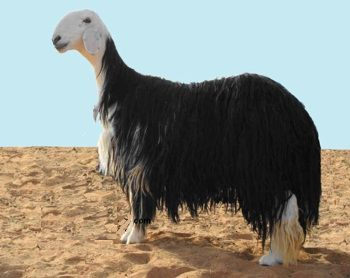 mouton Nadji