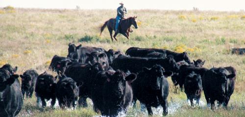 troupeau Limousine USA photo