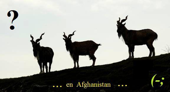 chèvres Markhor2