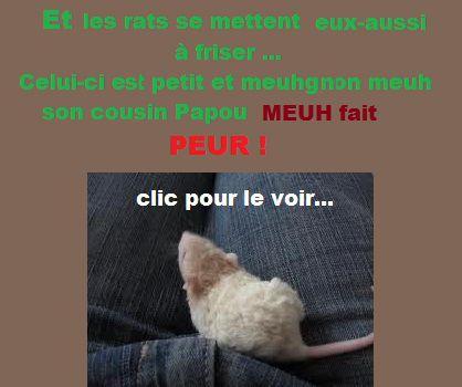 rat frisé légendé