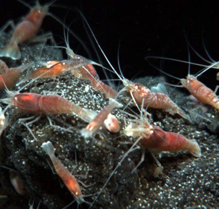 shrimpmugshot-450.jpg