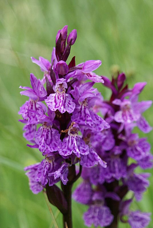 orchidee sauvage vosges