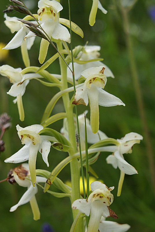 orchidee sauvage blanche