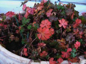 dalmaticum-et-reticulata-09-01-07.jpg