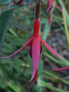 magellanica-14-11-11.jpg