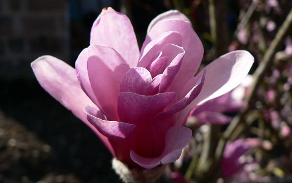 magnolia leonard messel 07 04 06 016