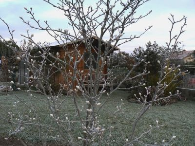 magnolia leonard messel 10 11 07
