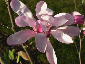 magnolia leonard messel 13 03 08