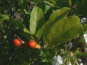 magnolia leonard messel 18 09 09