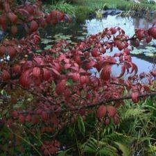 plicatum-pink-beauty-20-10-11_02.jpg