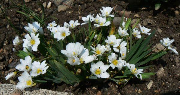 sisyrinchium-idahoense-ssp-macounii-25-05-12.JPG