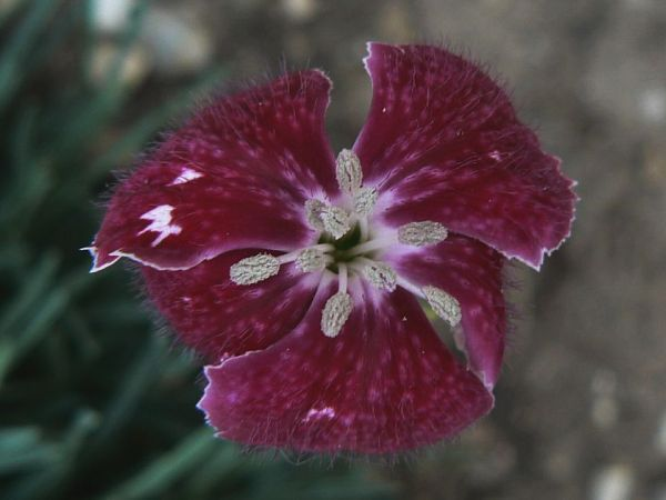 dianthus-sops-in-wine-28-08-12.jpg