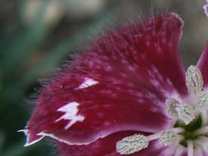 dianthus sops in wine 28 08 12 03