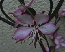 gaura-rosy-jane-09-10-12_03.jpg