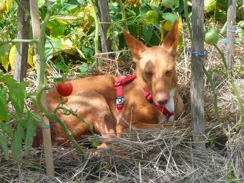Pluto-podenco-andalou-adoption-galgos-ethique-europe-W500.jpg