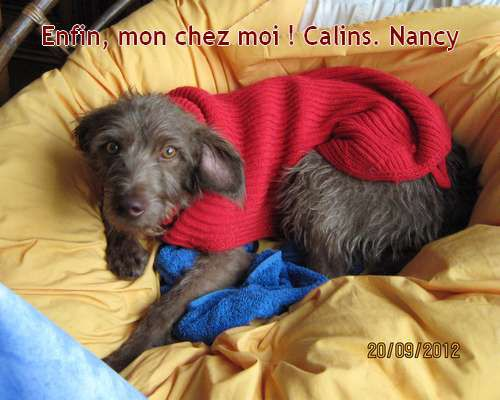 nancy-podenquita-barbuda-galgos-ethique-europe.jpg