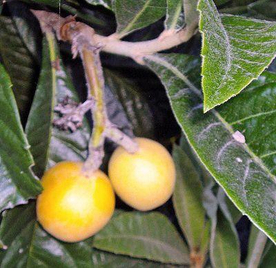 nefles-fruit.jpg