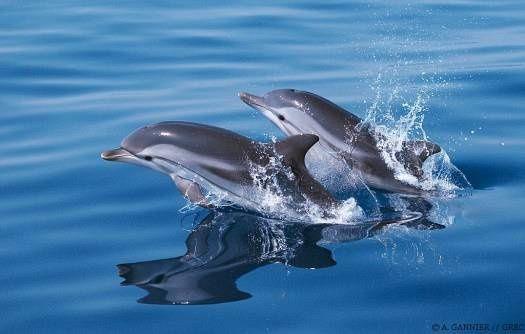 dauphin-bleu-et-blanc