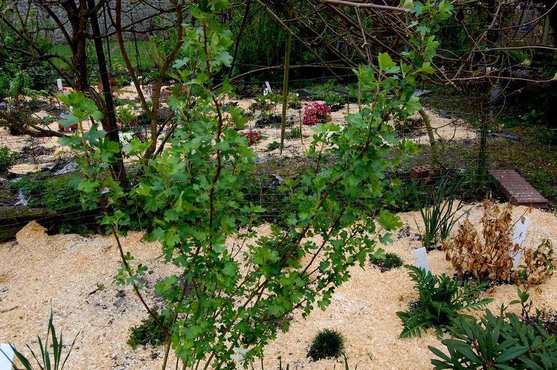 Ribes odoratum de couleur jaune le jardin de nanny 2 - Arbuste japonais fleur jaune ...