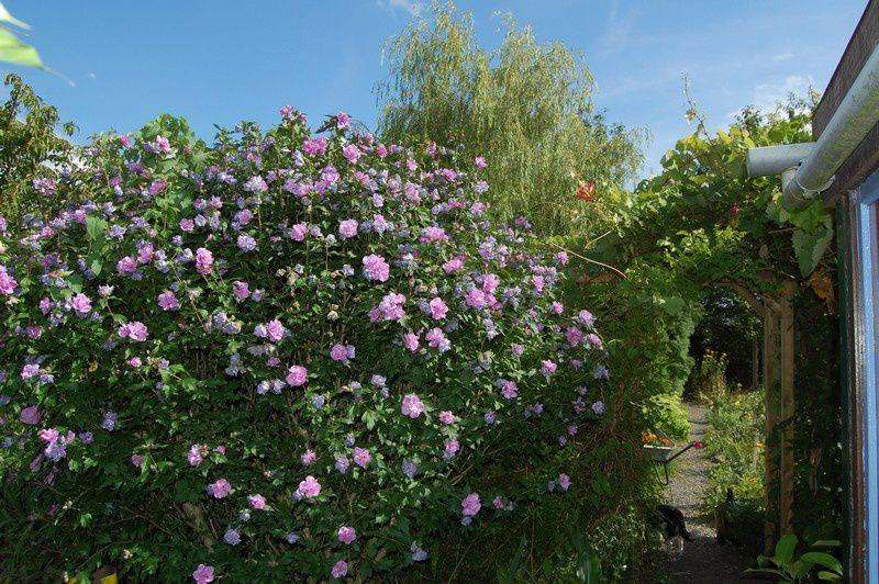 au jardin de la cuisine hibiscus bignone et vigne le jardin de nanny 2. Black Bedroom Furniture Sets. Home Design Ideas