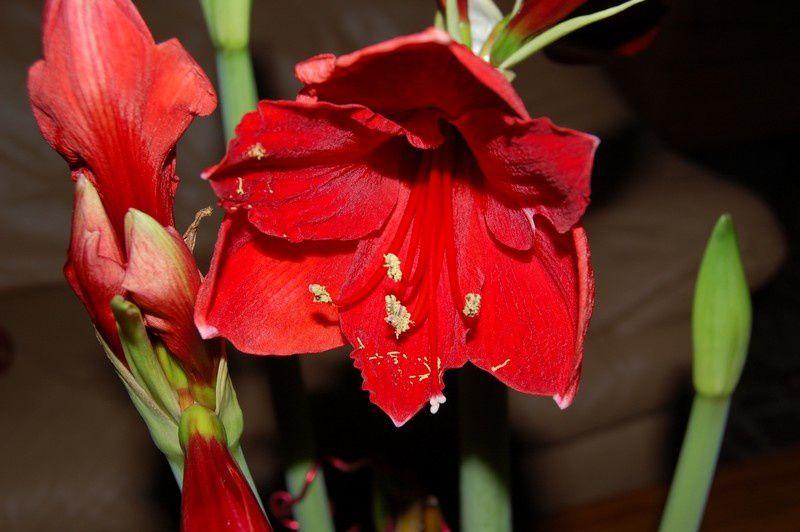 Album montage floral amaryllis le jardin de nanny 2 for Bulbes de amaryllis