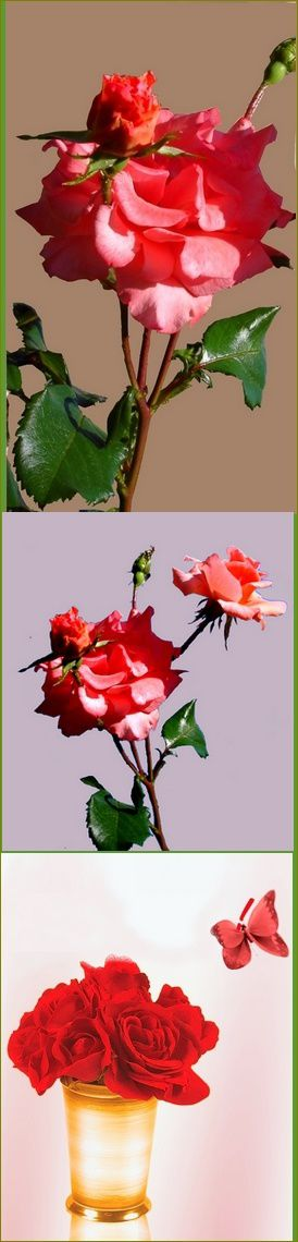 montage vertical roses