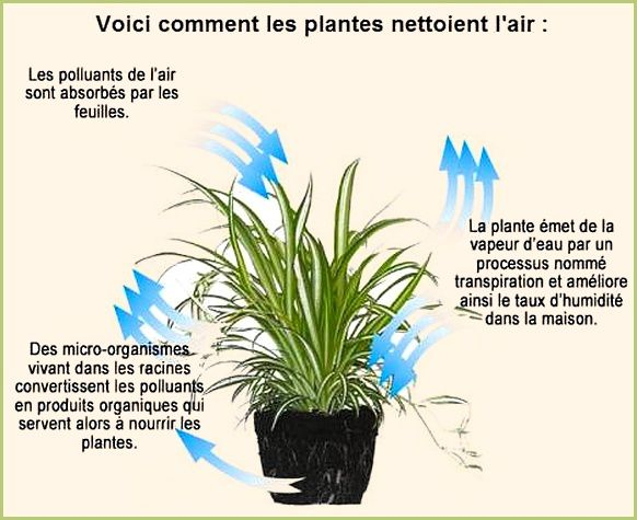 Plantes anti pollution des maisons levantate - Les plantes depolluantes purifier l air de la maison ...