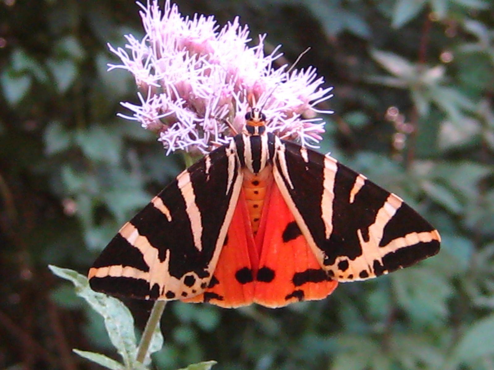 papillon noir raye de blanc et ailes rouges callimorpha quadripunctaria edithb mes photos. Black Bedroom Furniture Sets. Home Design Ideas