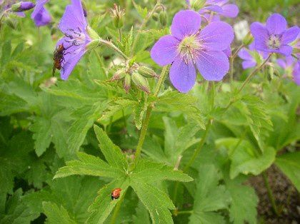 geranium-sylvaticum-may-flower.jpg