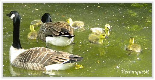 5 mai 2011 Photo 1 Naissances lac des Minimes