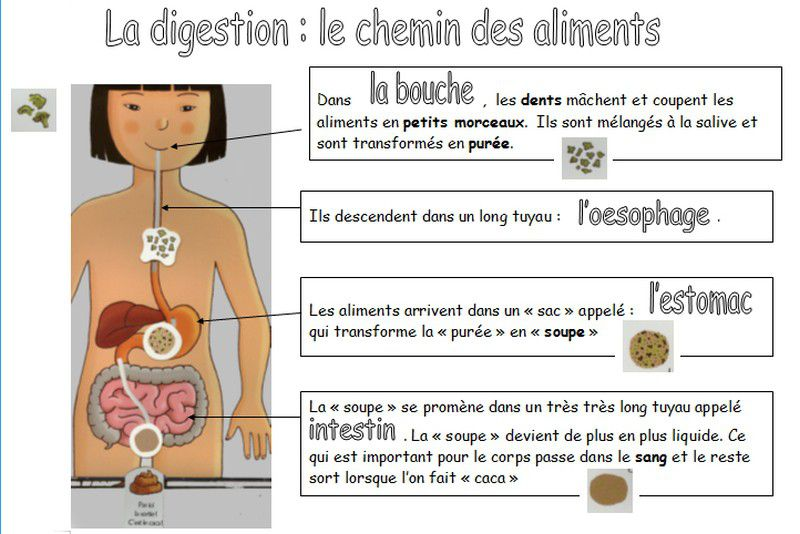 explication de la digestion http://maternelle-servins-2009.over-blog.com/article-la-digestion-avec-les-gs-40026991.html