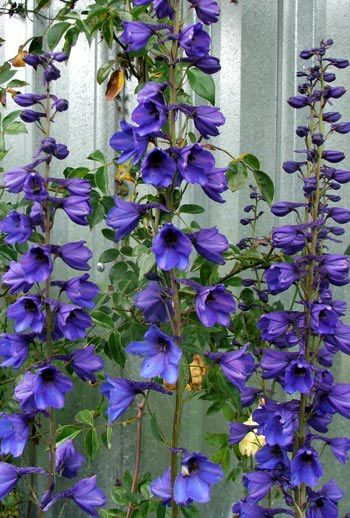 delphiniums-blue-flower belladonna