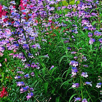 Penstémon belles vivaces jardin