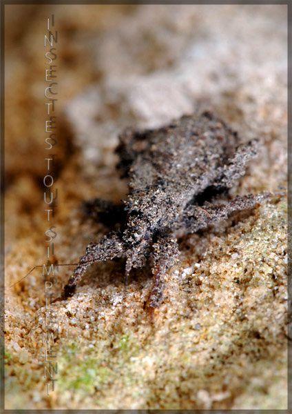 reduve masquee Reduvius personatus heteroptere