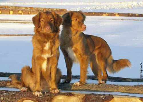 club de race golden retriever france