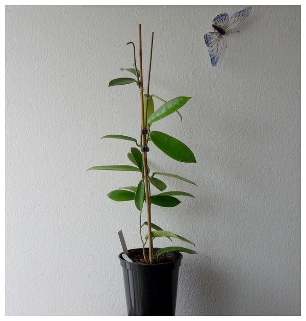 Hoya meliflua le blog de porcelain flowers for Achat de plantes par correspondance