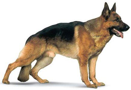 Quelques images de ces chiens d'exception ...