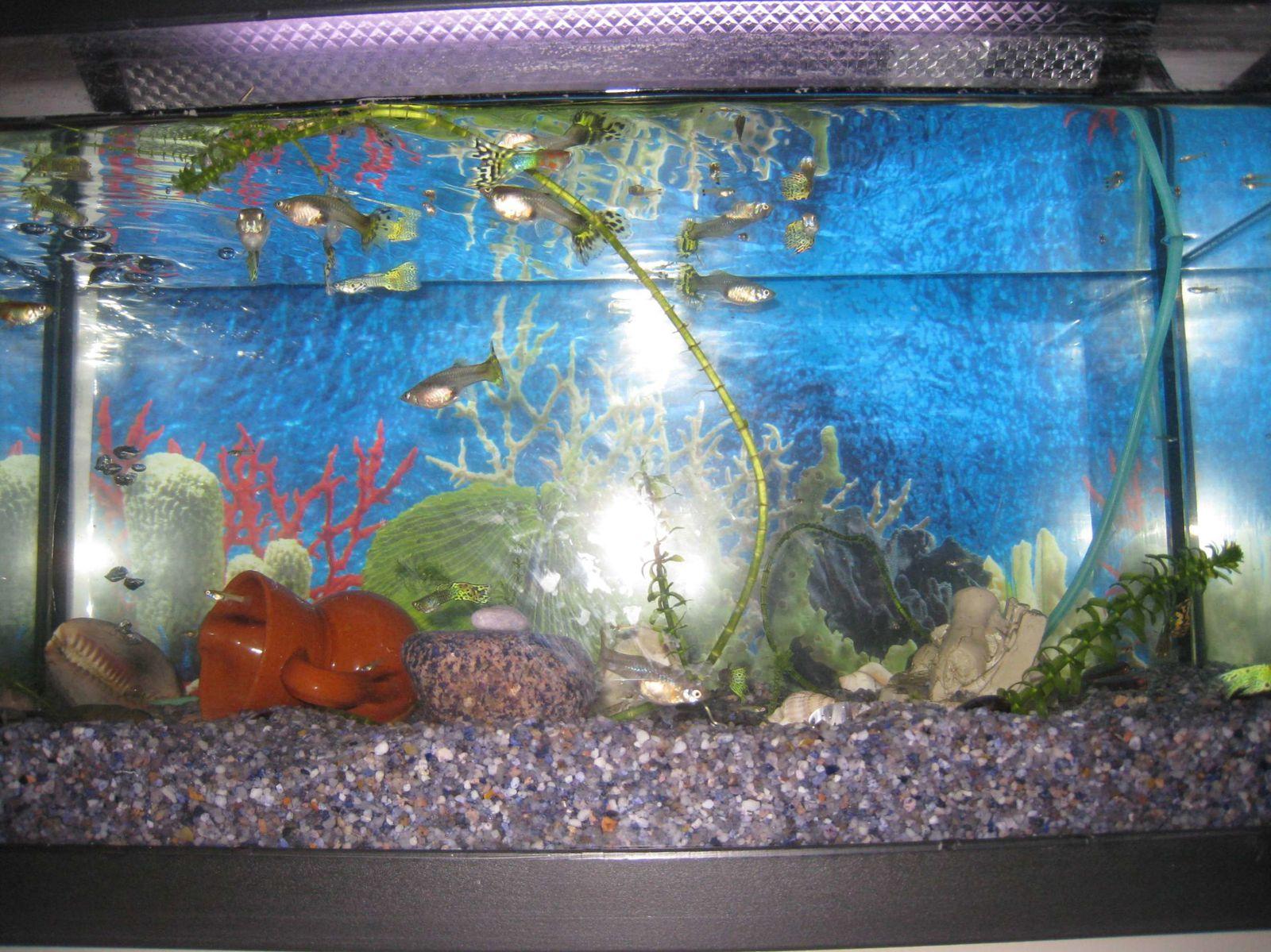 aquarium en cm2 guppy le blog de l 39 cole rg cadou la bernerie. Black Bedroom Furniture Sets. Home Design Ideas
