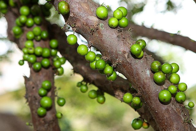 comment planter jaboticaba