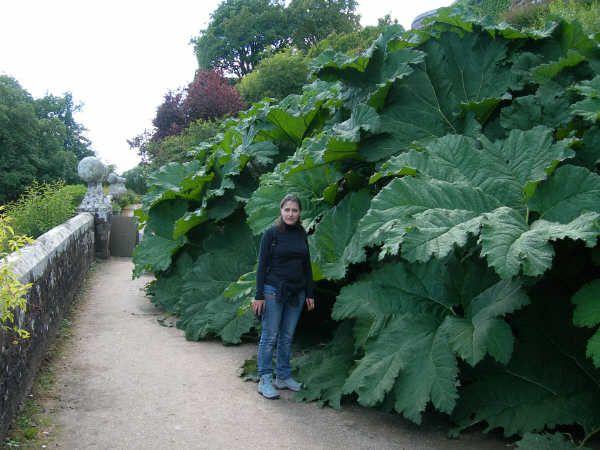 NATURE(S) - Plantes extraordinaires - Gunnera manicata (14)